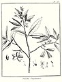 Simaba guianensis Aublet 1775 pl 153.jpg