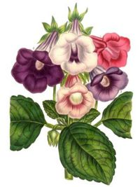 Sinningia speciosa, 5 varieties