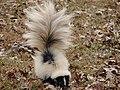 Skunk3 (6330277565).jpg