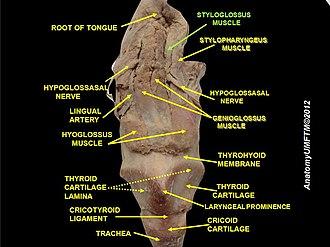 Styloglossus - Image: Slide 14lll