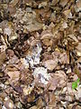 Slime mold unidentified.JPG
