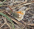 Small Heath. Coenonympha pamphilus (39284711315).jpg