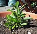 Small citrus plant.JPG