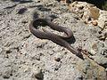 Snakes Memphis TN 2012-04-22 007.jpg