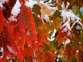 Snow-covered autumn leaves -2 (6292482656).jpg