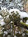 Snow covered plants.jpg