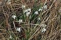 Snowdrops beside Broomhill Burn - geograph.org.uk - 727024.jpg