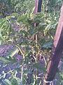 Solanales - Piros ökörszív paradicsom (Solanum lycopersicum; syn. Lycopersicum esculentum) 1 - 2011.08.07.jpg