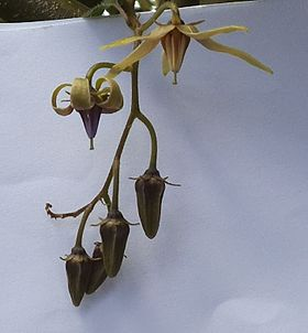 Solanum melissarum, flower, buds, dec 2012, WC.jpg