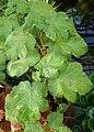 Solanum quitoense kz01.jpg