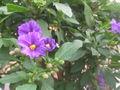 Solanum rantonnetii1.jpg