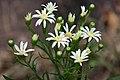 Solidago ptarmicoides Arkansas.jpg