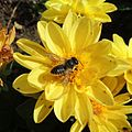 Solitary bee on a flower, Sandy, Bedfordshire (9330529702).jpg