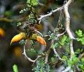 Sophora prostrata in Auckland Botanic Gardens 02.jpg