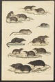 Sorex remifer - 1700-1880 - Print - Iconographia Zoologica - Special Collections University of Amsterdam - UBA01 IZ20900093.tif