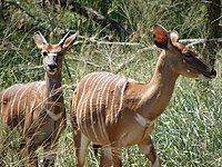 South Africa Nyala at Umfolozi.jpg