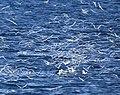 South American Tern feeding frenzy.jpg