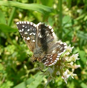 Grizzled skipper - A semispecies, Pyrgus malvoides, of the Pyrgus malvae superspecies