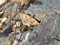 Southern Marbled Skipper (Carcharodus baeticus).jpg