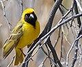 Southern Masked Weaver (Ploceus velatus) male ... (46232854541).jpg