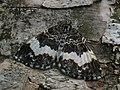 Spargania luctuata - White-banded carpet - Ларенция кипрейная (42886201865).jpg