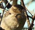 Sparrow in Kiev4.JPG