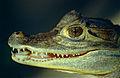 Spectacled Caiman (Caiman crocodilus) juvenile (10407801186).jpg