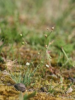 Spergula morisonii habitus.jpeg