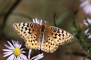 <i>Speyeria edwardsii</i> species of butterfly