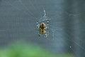 Spider (2894567497).jpg