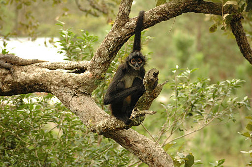 Spider monkey -Belize Zoo-8a
