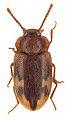 Spinolyprops himalayicus - ZooKeys-243-083-g002-6.jpeg