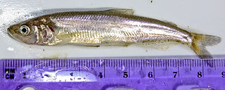 Longfin smelt Species of fish