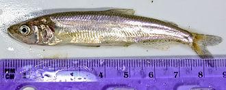 Longfin smelt - Image: Spirinchus thaleichthys