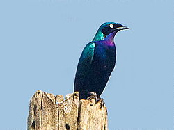 Splendid Glossy Starling-Kakum N.P.-Ghana, Original by Francesco Veronesi, Dec. 07, 2014.jpg