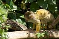 Squirrel Monkey - Flickr - p a h.jpg