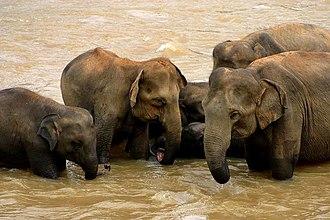 Sri Lankan elephant - Elephants bathing