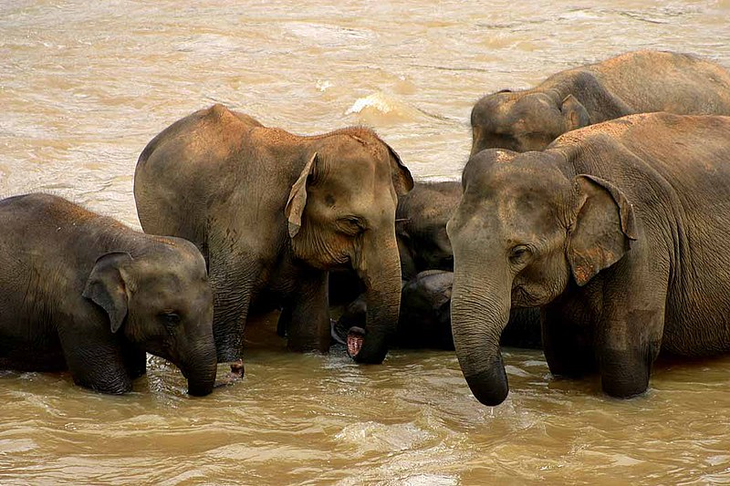 Soubor:Sri Lankan elephants.jpg