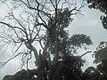 Stablo u Kepu.jpg