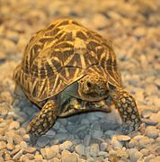 Star Tortoise by Trisha 2.jpg