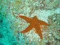 Starfish at Manta Reef dsc04357.jpg