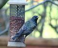 Starling near Cambridge.jpg