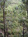 Starr-011026-0037-Thunbergia alata-invading gulch with natives-Maliko Gulch Piiholo-Maui (24542846565).jpg