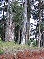 Starr-031002-0027-Eucalyptus globulus-habit-Piiholo-Maui (24579357571).jpg