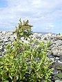 Starr-040410-0055-Chenopodium murale-habit-LaPerouse-Maui (24674929066).jpg