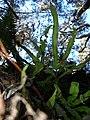 Starr-041211-1338-Pteris cretica-habit-Puu Nianiau-Maui (24425468190).jpg
