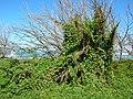 Starr-050222-4140-Coccinia grandis-smothering habit-Mokuauia-Oahu (24711578336).jpg