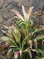 Starr-070302-4944-Cordyline fruticosa-red and green swirled leaves-Pukalani-Maui (24883441665).jpg