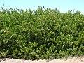 Starr-070404-6626-Conocarpus erectus-habit-Keomoku Beach-Lanai (24260128143).jpg