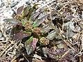 Starr-080531-4825-Euphorbia hirta-leaves and fruit-Bravo barracks Sand Island-Midway Atoll (24282677454).jpg